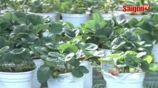 Làng hoa Sa Đéc trồng được dâu tây Đà Lạt