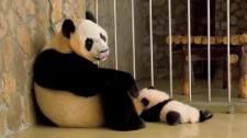 Video: Những Khoảnh Khắc Không Thể Nhịn Cười Của Mẹ Con Gấu Trúc Hậu Đậu