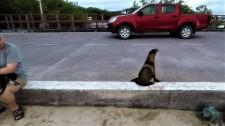 Video: Hải Cẩu Thận Trọng Quan Sát Phải, Trái Khi Sang Đường