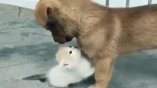 Video: Tan Chảy Cách Mèo Con Kết Thân Với Chó Con