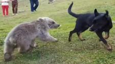 Video: Cuộc Hội Ngộ Bất Ngờ Đầy Thú Vị Giữa Chó Và Gấu Xám