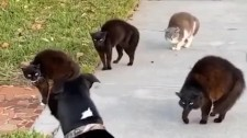 """Video: Chó Cúp Đuôi Bỏ Chạy Khi Bị """"Băng Đảng"""" Mèo Ngáng Đường"""